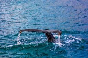 whale-2193356_1920